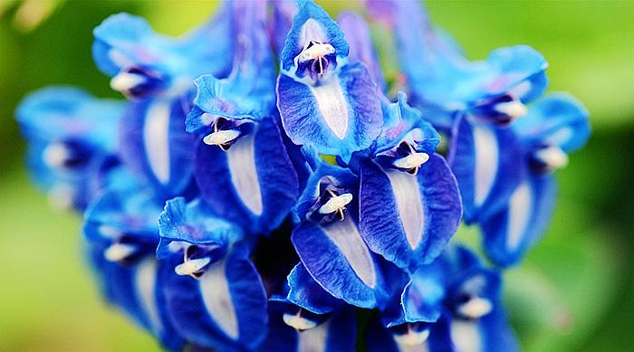 假髯萼紫堇 corydalis